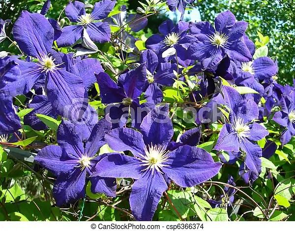 Clematis vine flowers in  Climbing vine of purple blue clematis