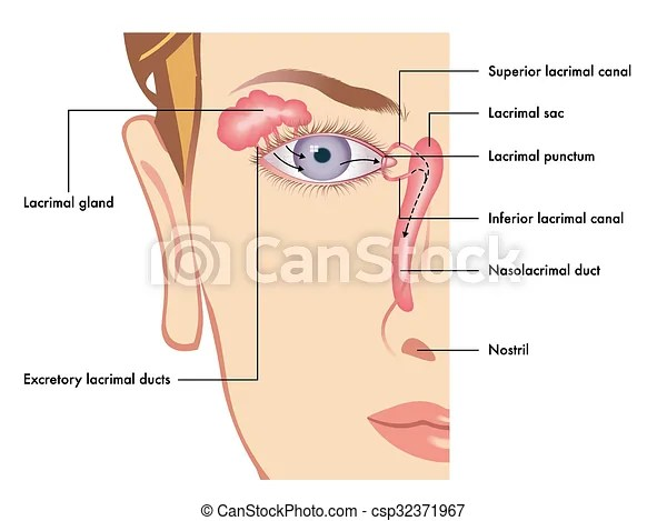 Medical illustration of the anatomy of the lacrimal apparatus