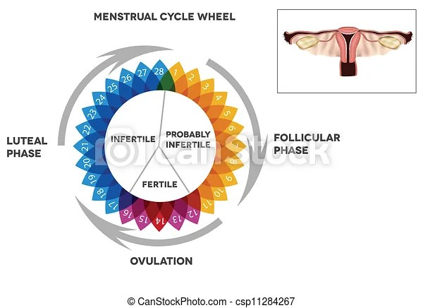Menstrual cycle calendar detailed diagram of female menstrual cycle