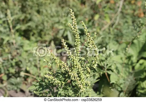 Ragweed Stock Photo Images 205 Ragweed royalty free pictures and