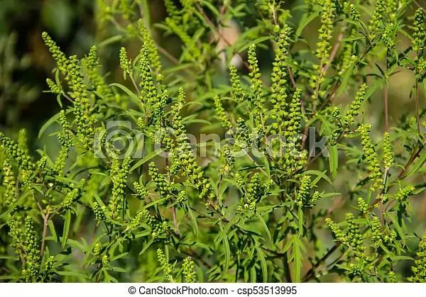 Ragweed plants (ambrosia artemisiifolia) causing allergy stock