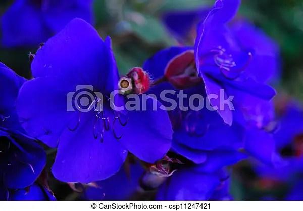 Rare purple-blue brazilian flowers Rare purple-blue, purple