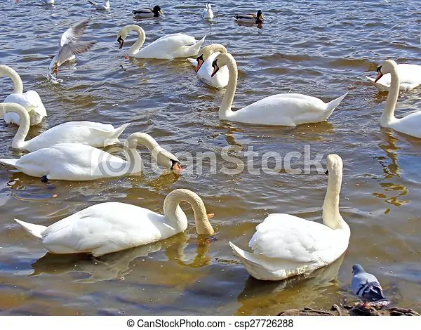 Wild swans and ducks on the water group of wild swans and ducks on