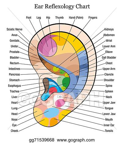 Vector Illustration - Ear reflexology chart description w Stock