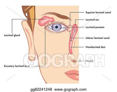 Clip Art Vector - Lacrimal apparatus Stock EPS gg82241248 - GoGraph