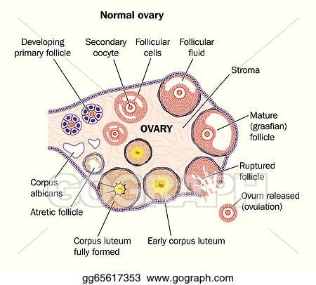 Labeled Ovary Diagram Wiring Diagram