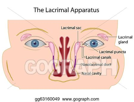 Vector Art - The lacrimal apparatus, eps10 Clipart Drawing