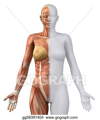 Drawing - White female figure in anatomical position anteriror view