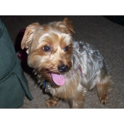 Small Crop Of Yorkshire Terrier Hypoallergenic