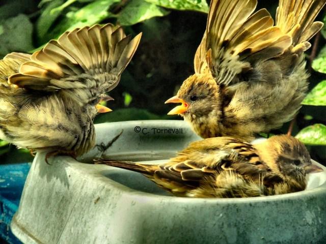Gråsparvar som slåss i badet