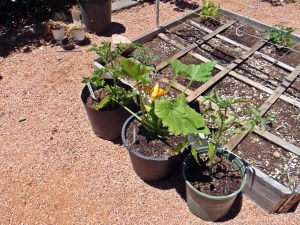 Early Girl Tomatoes flank a Zucchini plant