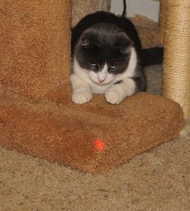 cat-with-laser-toy-safety