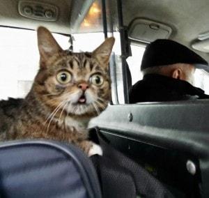 Lil_Bub_taxi