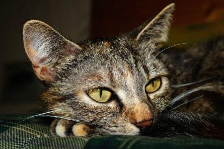 tabby-cat-biomarker-kidney-disease