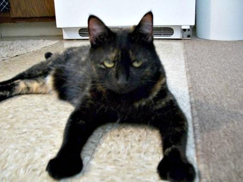 tortoiseshell-cat-diabetes