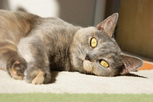 kidney-transplant-cat