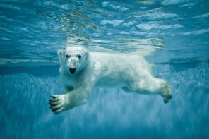 Thalarctos Maritimus (Ursus maritimus) commonly known as Polar bear swimming under water