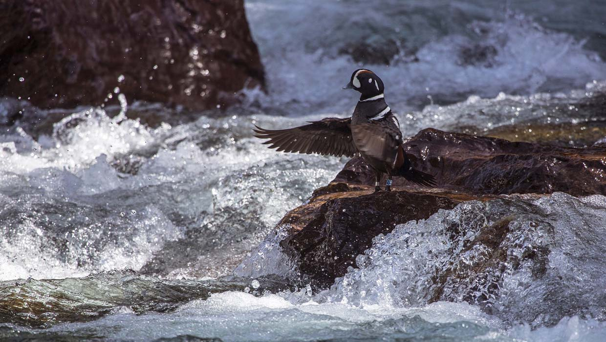 harlequin-duck-1240x700-skeeze
