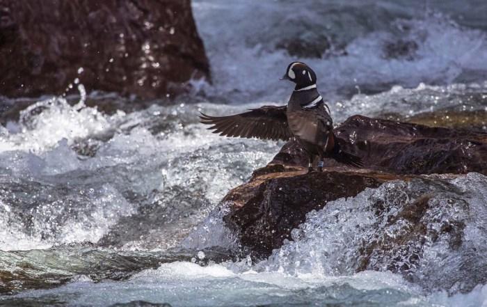 harlequin-duck-1240x700-skeeze