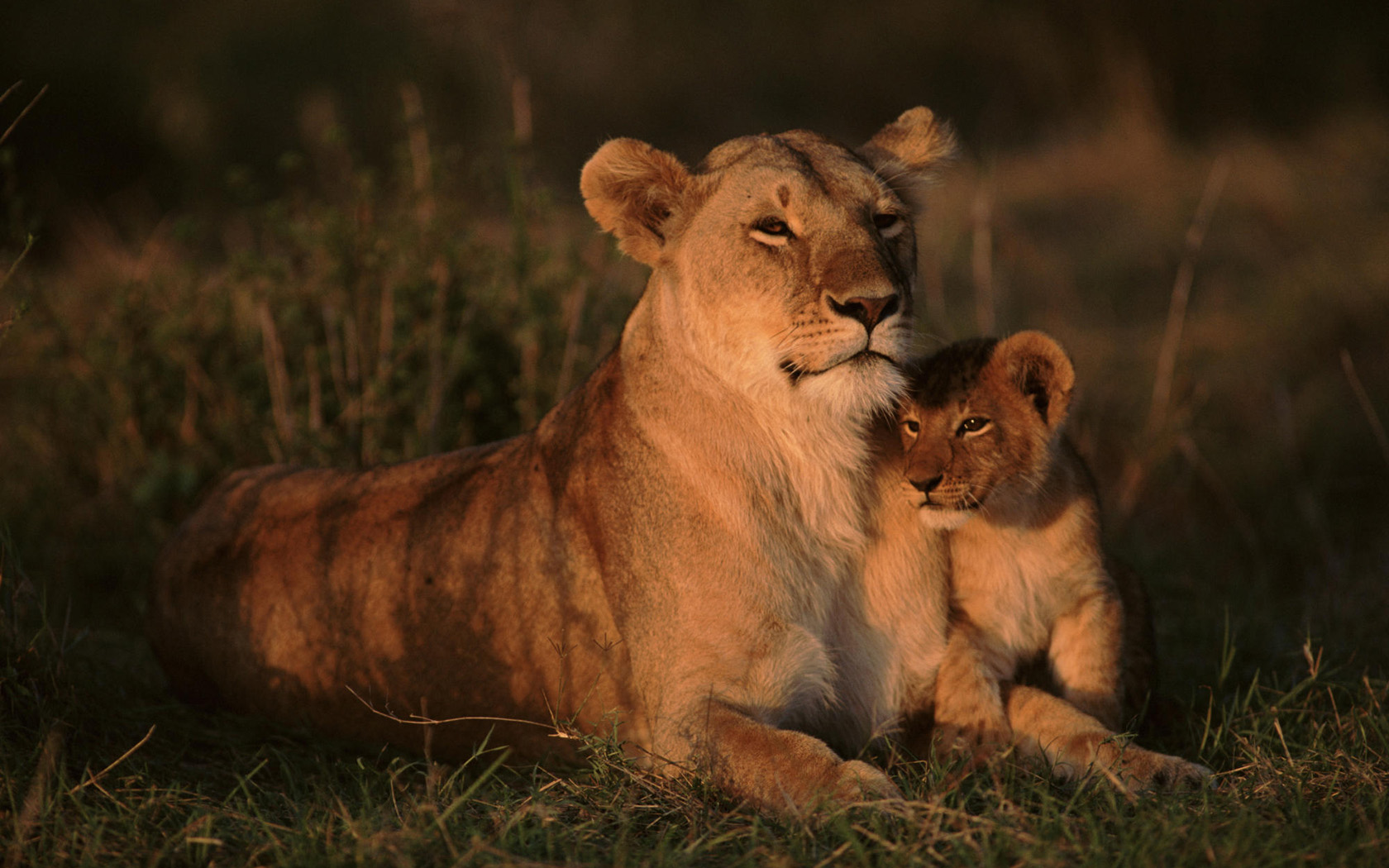 Cute Lion Cubs Hd Wallpapers Mothers Day Lion And Cub