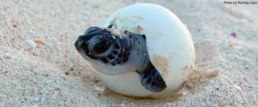 Sea Turtle Conservancy Helping Sea Turtles Survive Since