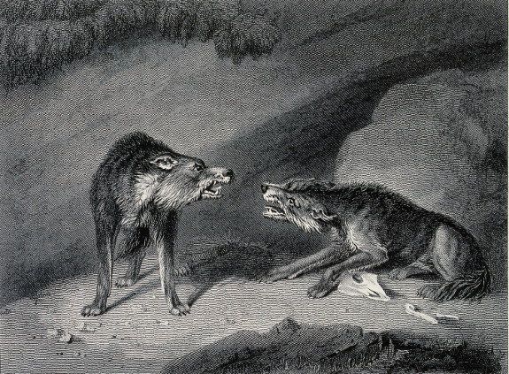 Lone Wolf Wallpaper Quote What Alpha Wolves Are Really Like The Art Of Manliness