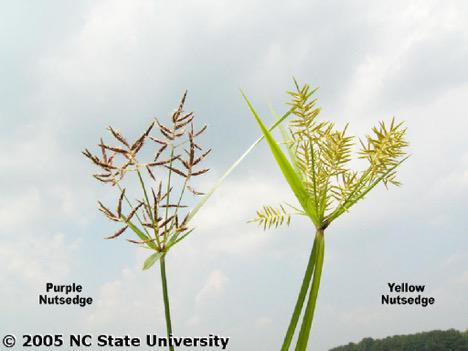 Management of Yellow Nutsedge in Sweetpotato NC State Extension
