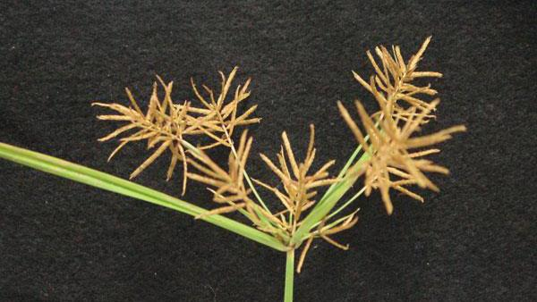 Yellow Nutsedge NC State Extension