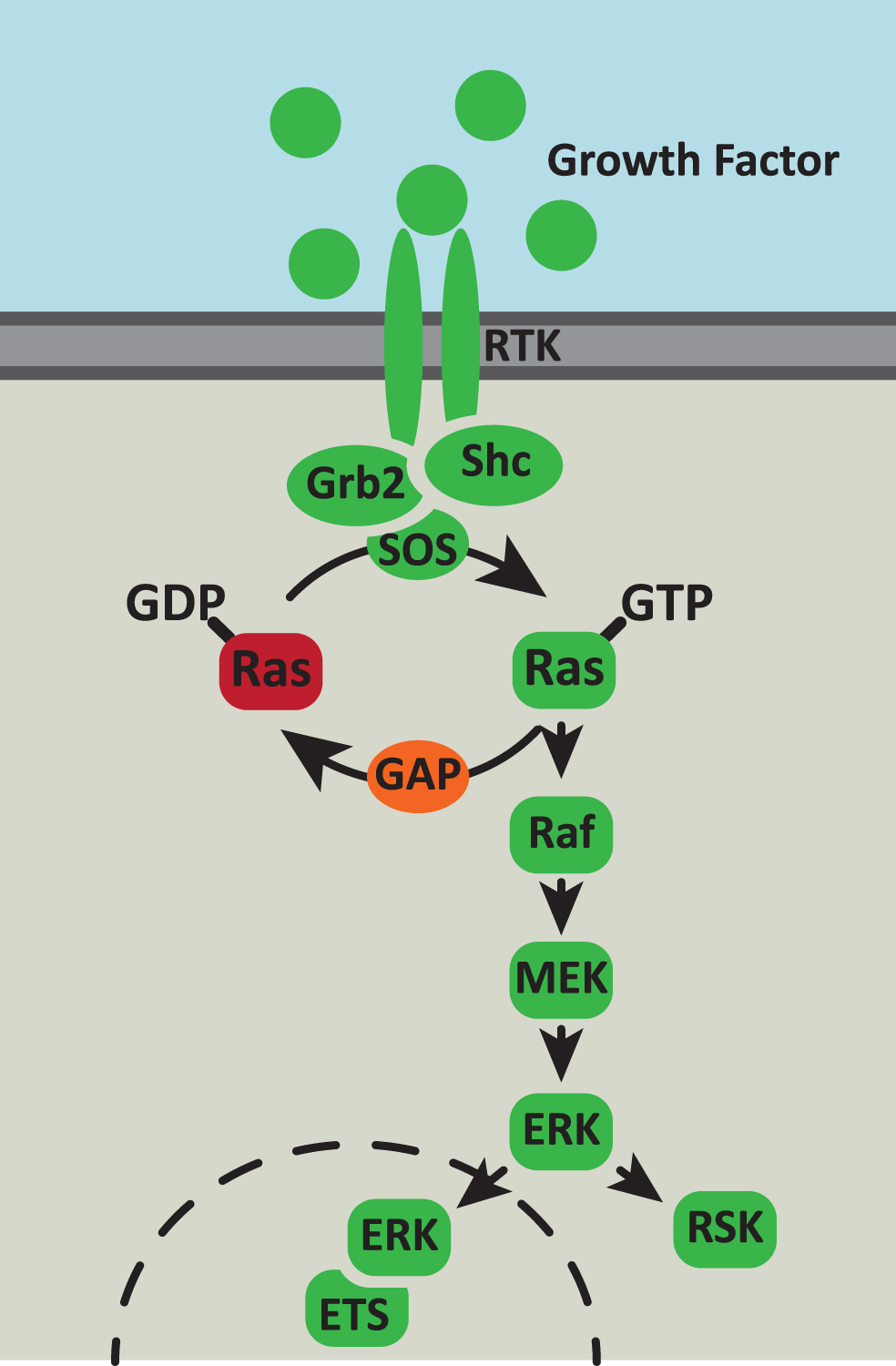 Ras Ras Signaling In Aging And Metabolic Regulation Ios Press
