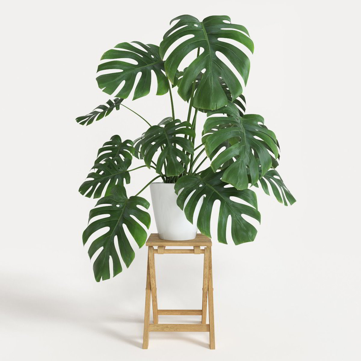 Large Leaf Houseplant Monstera Deliciosa Plant Portrait Aka Swiss Cheese Plant