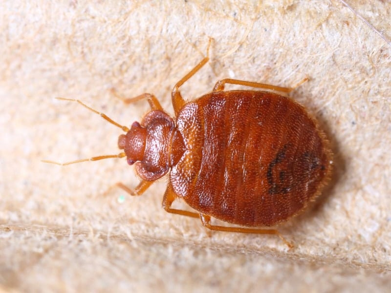Bed Bug Life Cycle How Long Can Bed Bugs Live?