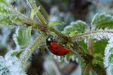 Ladybird on Icy Nettle