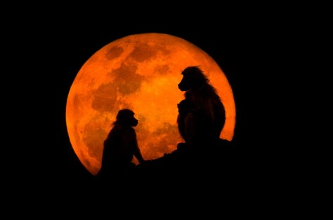 The Baboons & The Moon