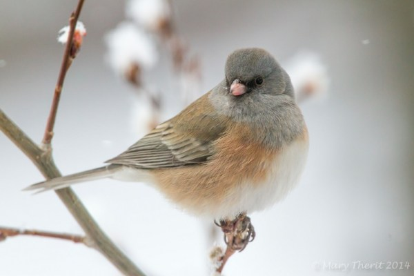 Dark eyed Junco in Winter