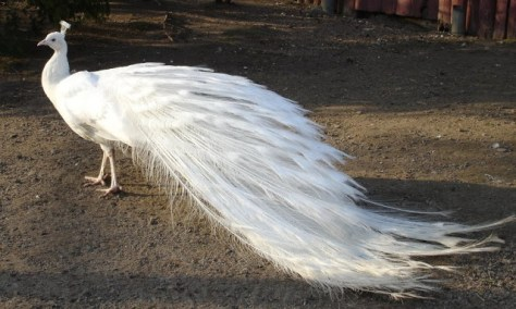 Awesome White Peacock