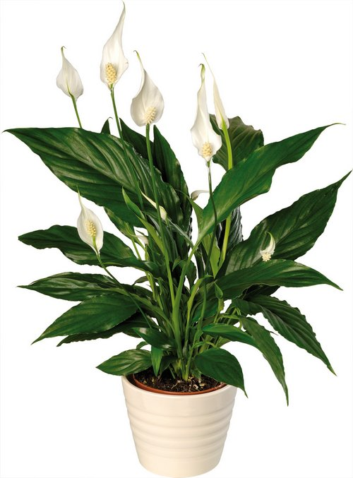 Spathiphyllum Wallisii Indoor Plants That Clean The Air