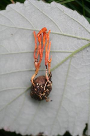 C. pruinosa
