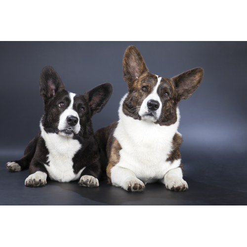 Medium Crop Of Corgi Terrier Mix