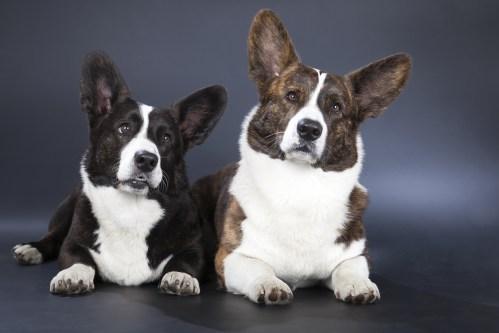 Medium Of Corgi Terrier Mix