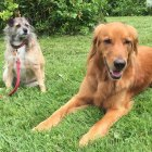 Penny, a mixed-breed, and Huckleberry Finn,a golden retriever, are two of the over 4,200 dogs included in this genetic study of complex disease and morphological traits