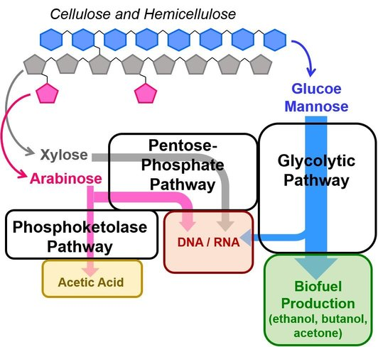 Selective metabolic pathways for the utilization of different sugars in cellulose and hemicellulose.