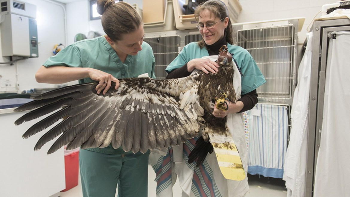 The Cornell wildlife care center, which receives over 1,000 injured or ill animals every year, treated the bald eagle and harrier in January.