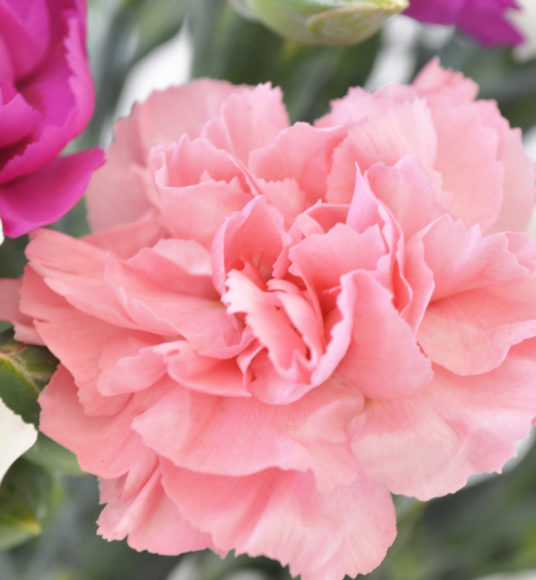 Scented Pinks - Cornish Blooms