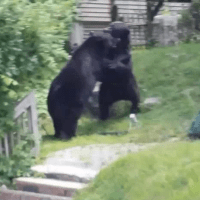 Bear brawl in Rockaway, NJ