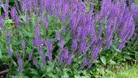 Salvia- beneficiile si miracolele sale