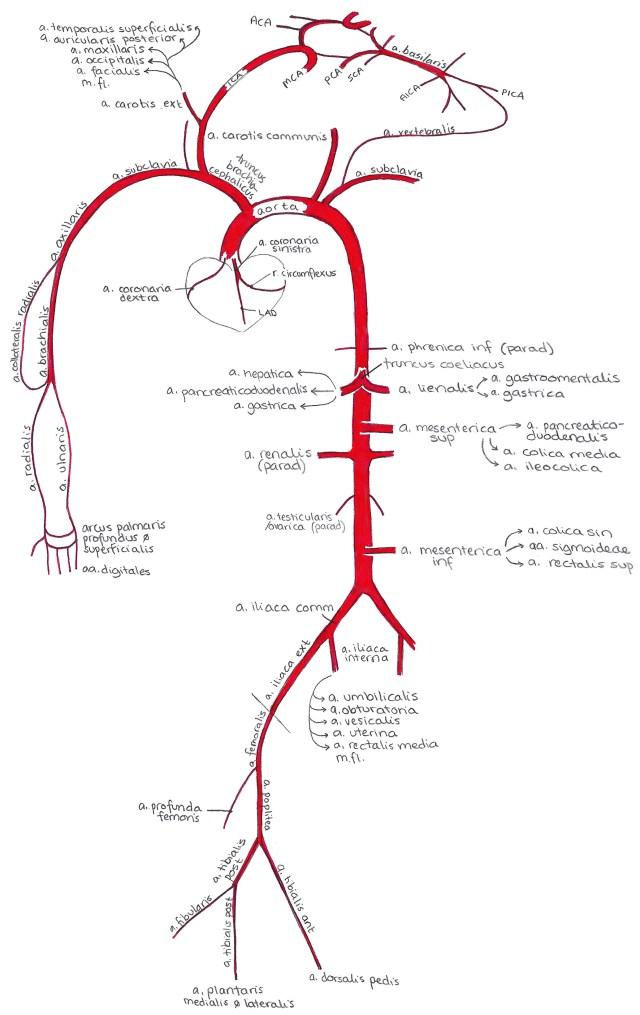 Artärer. Översikt över de stora artärerna i kroppen och hur de förhåller sig till varandra.