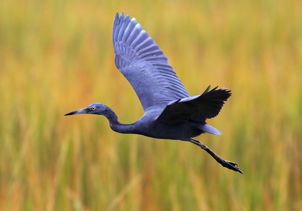 Heron bleu, little blue heron, heron, costa rica, guanacaste, ortega, palo verde boat tour, palo verde national park, costour