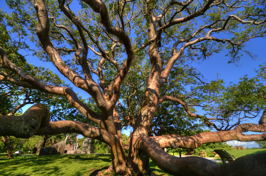 gumbo limbo tree, tourist tree costa rica