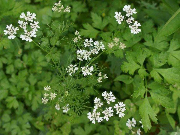 cilantro, costa rica, medicinal plant