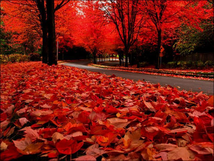 Falling Maple Leaves Wallpaper 20 Amazing Facts About Fall Leaves Cottage Life